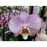Phalaenopsis Levante