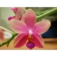 Phalaenopsis Liodoro (2 Rispenansätze)