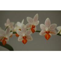 Phalaenopsis Minimark (2-3 Rispenansätze)