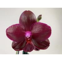 Phalaenopsis Sogo Relax