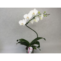 Phalaenopsis Single Helix 'White'