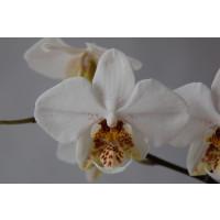 Phalaenopsis stuartiana (1 Rispenansatz)