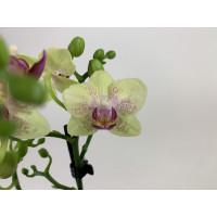 Phalaenopsis Sunny