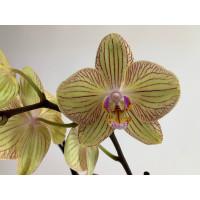 Phalaenopsis Torino