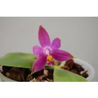 Phalaenopsis violacea 'Malaysia'