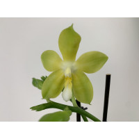 Phal. Yungho Canary x Tsay's Evergreen