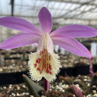 Pleione San Salvador x Eiger To Be
