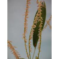 Pleurothallis spec.