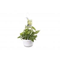 Vanilla planifolia 'variegata' (Ampelpflanze)