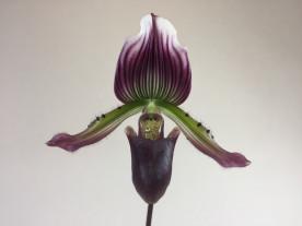 Paphiopedilum Hortense x Maudiae coloratum