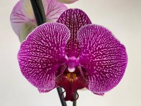 Phalaenopsis Magic Moments (2 Rispen)