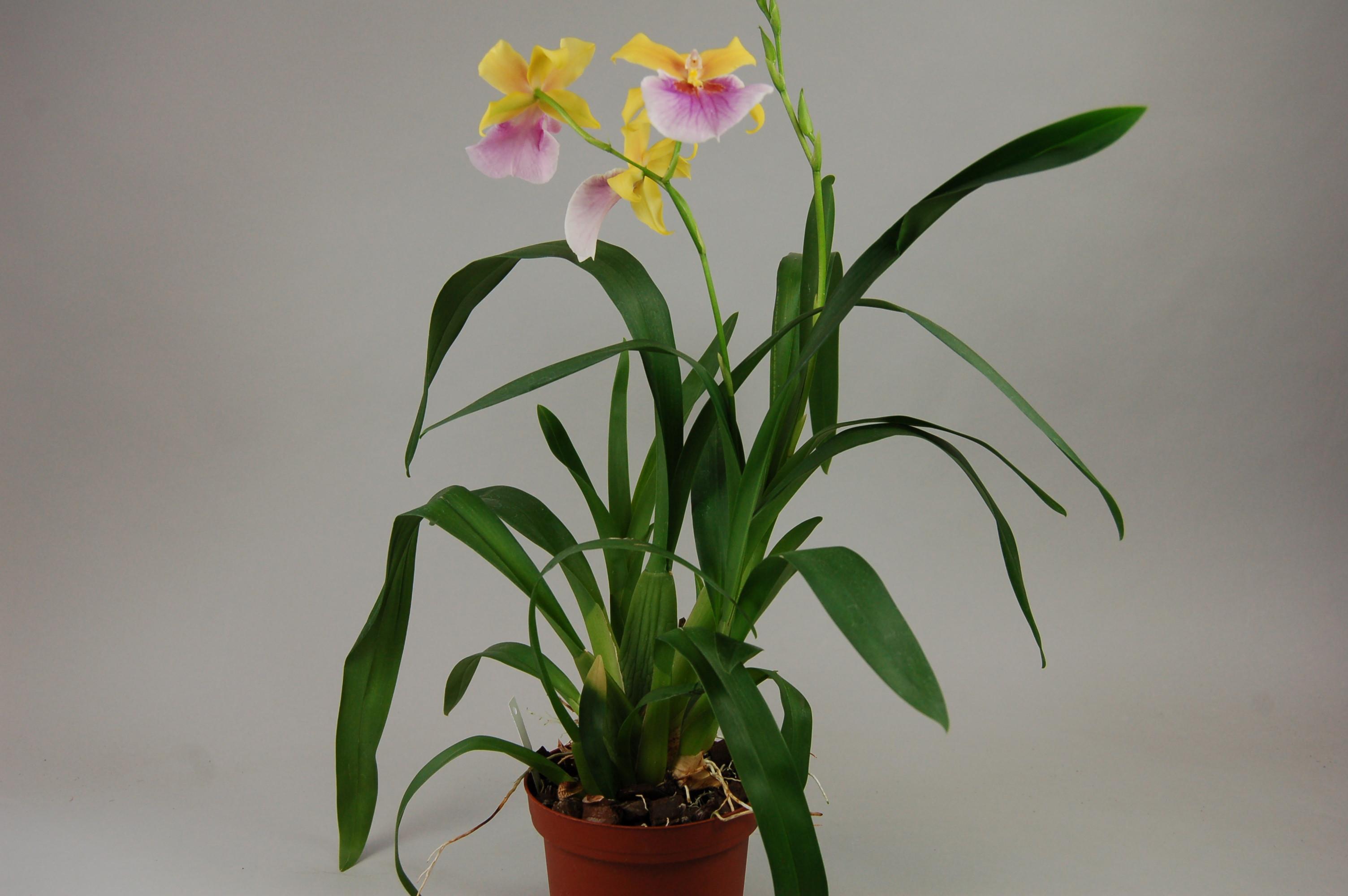 miltonia sunset hybride orchideen h chste g rtnerische qualit t und erfahrung. Black Bedroom Furniture Sets. Home Design Ideas