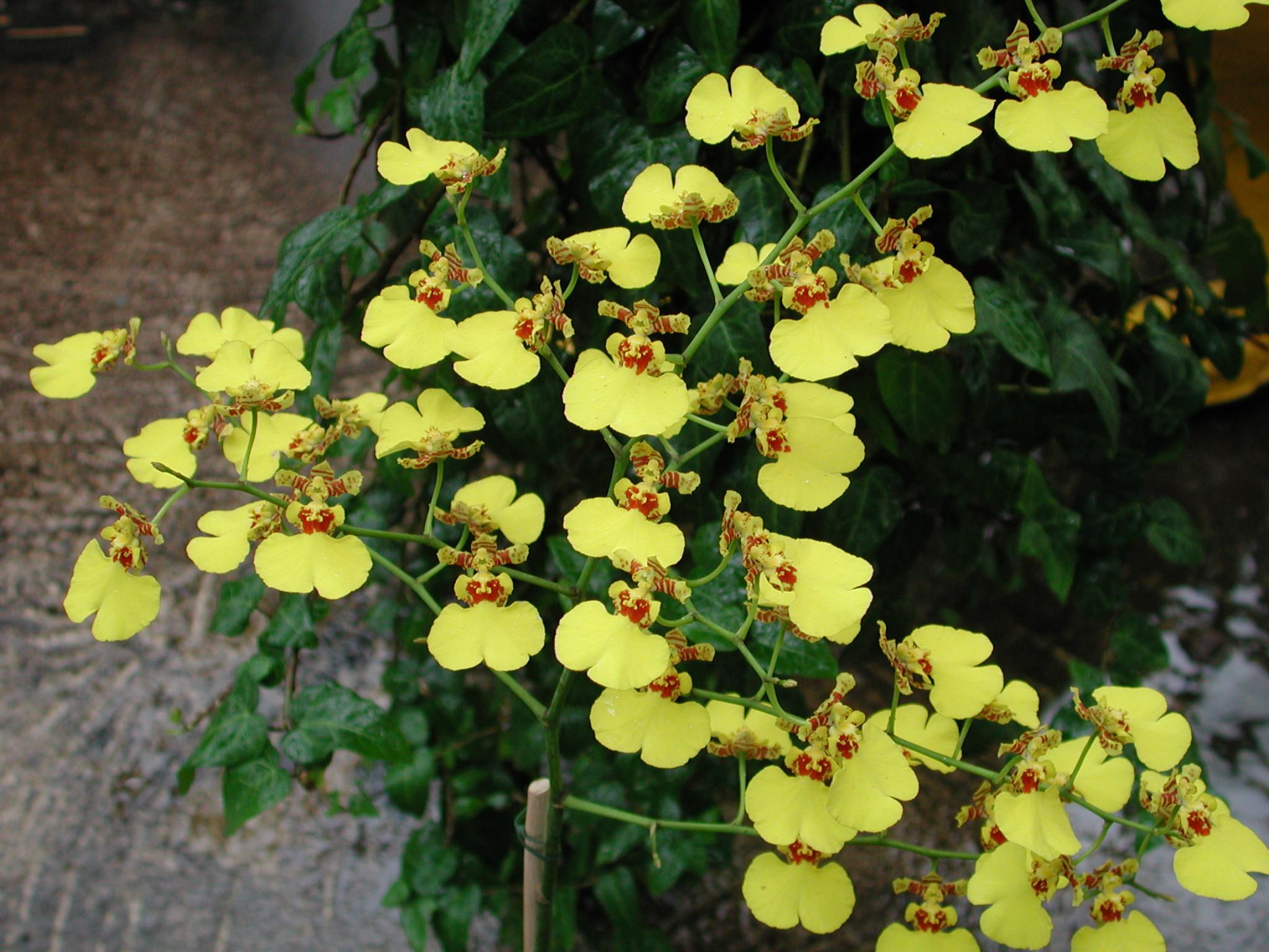 http://www.orchideen-wichmann.de/media/catalog/product/cache/1/image/9df78eab33525d08d6e5fb8d27136e95/o/n/oncidium_gower_ramsey.jpg