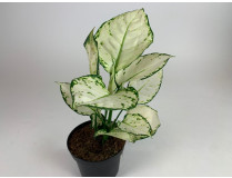 Aglaonema Tropic Colour 'White Joy'
