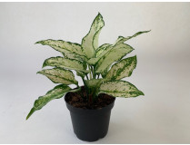 Aglaonema Tropic Colour 'White Kiwi'