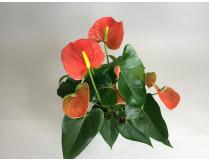 Anthurium Orange Champion
