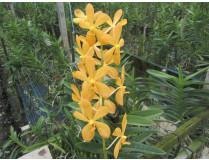 Aranda Jairak Gold