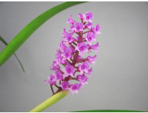 Arpophyllum spicatum