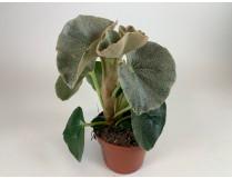 Begonia venosa 'Silver Elefant'