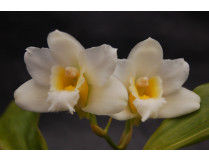 Bifrenaria harrisonia 'alba'