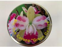 Blc. Yen Corona 'Green Genius' (im sterilen Glas)