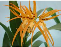 Brassada Mivada ROC Blütenstiel