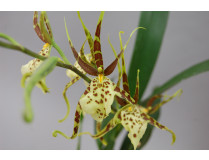 Brassia Eternal Wind 'Summer Dream' 1