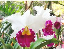 Brassolaeliocattleya Chong-Guu Swan