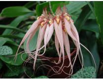 Bulbophyllum Louis Sander