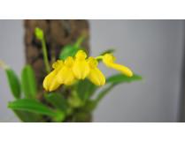 Dendrobium macroleum 'Yellow'