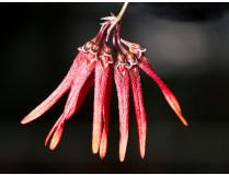 Bulbophyllum farreri