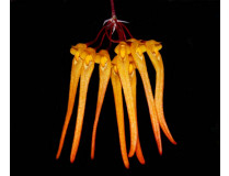 Bulbophyllum thaiorum