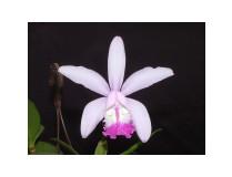 Cattleya intermedia 'do Manfredo'