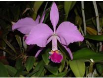 Cattleya jenmanii