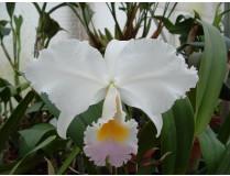 Cattleya trianae 'amesiana'