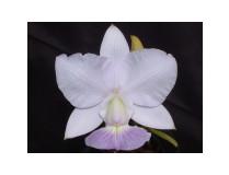 Cattleya walkeriana 'coerulea'