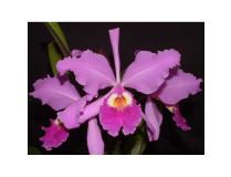 Cattleya warszewiczii 'Orchid Eros'
