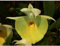 Catasetum pileatum Hybride