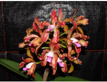 Cattleya guttata 'tigrina'