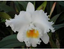 Cattleya Jose Marti Mothers Favorite Blüte