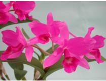 Cattleya skinerii 'Casa Luna' 1