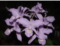 Cattleya skinneri 'coerulea'