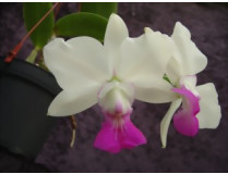 Cattleya walkeriana 'semi-alba'