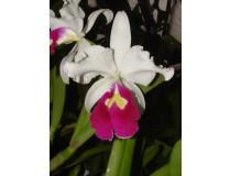 Cattleya warszewiczii 'semi-alba'