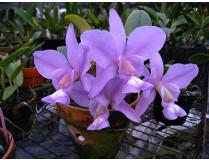 Cattleya nobilior 'coerulea'