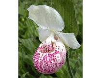 Cypripedium 'Ulla Silkens'