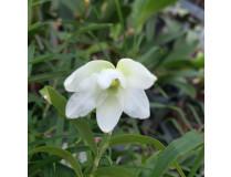 Dendrobium auriculatum