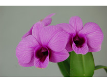 Dendrobium bigibbum compactum 'Anzac Spirit'