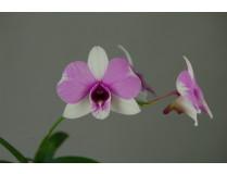 Dendrobium bigibbum compactum 'two tone'