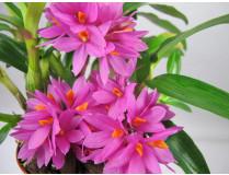 Dendrobium bracteosum x laevifolium